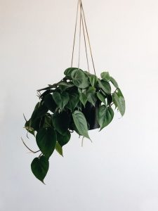 Philondendron Plant